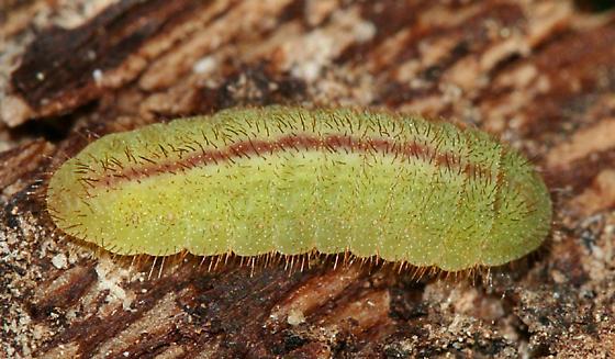 Lycaeninae caterpillar - Lycaena