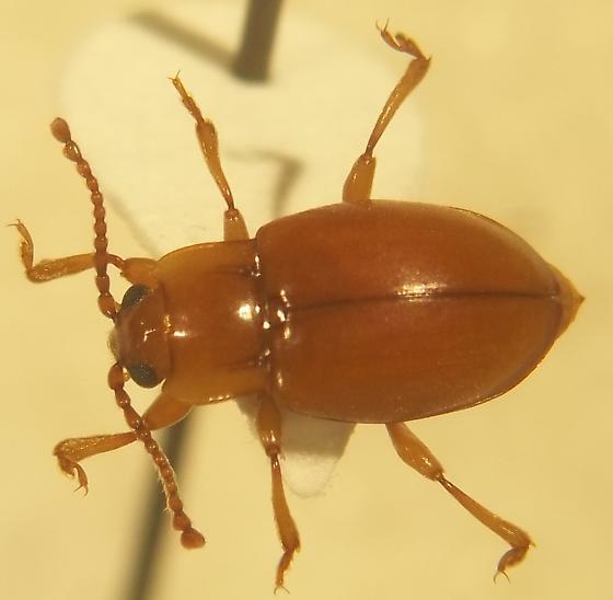 Endomychidae - Lycoperdina ferruginea