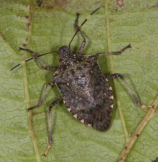 Stink Bug for ID - Halyomorpha halys