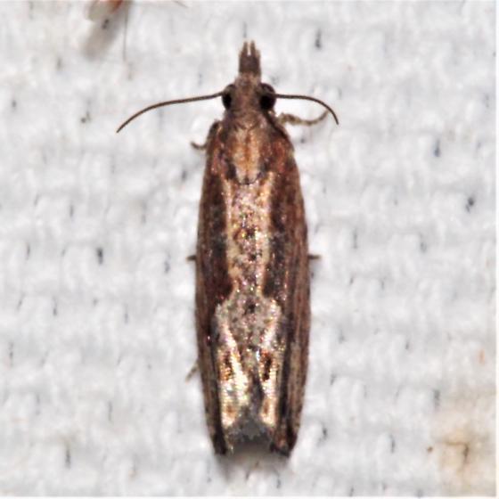 ID Request - Strepsicrates smithiana? - Strepsicrates smithiana