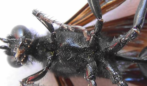 Thread-waisted Wasp Segmented (ventral thorax) - Prionyx - male