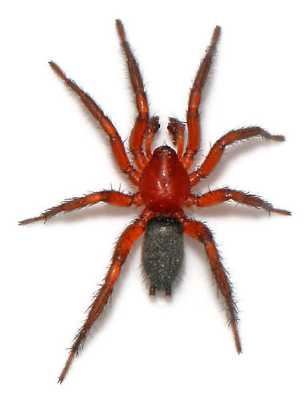 Red G. sericata - in sun - Gnaphosa sericata - male