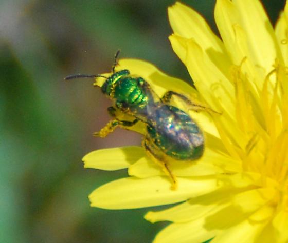 Sweat Bee on Dandelion - Augochloropsis