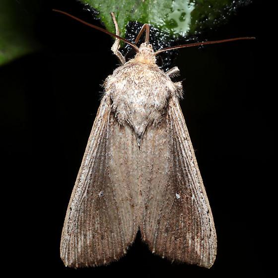Leucania subpunctata