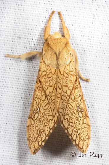 Moth - Lophocampa mixta