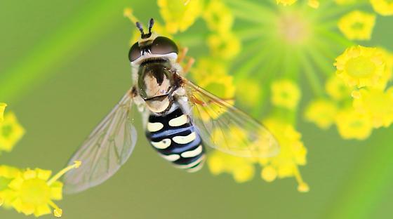 Eupeodes volucris? - Eupeodes volucris - female