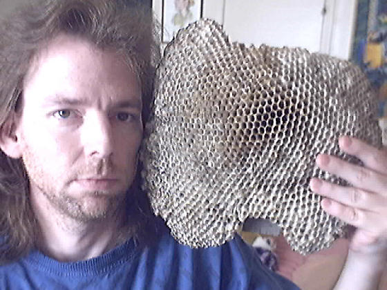 Enormous Red Wasp Nest - Polistes annularis