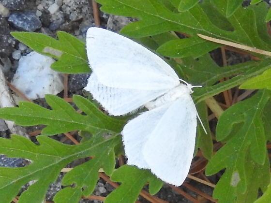 White Moth ??? - Eugonobapta nivosaria