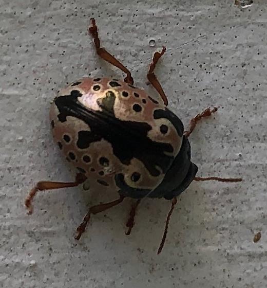 Beetle - Calligrapha