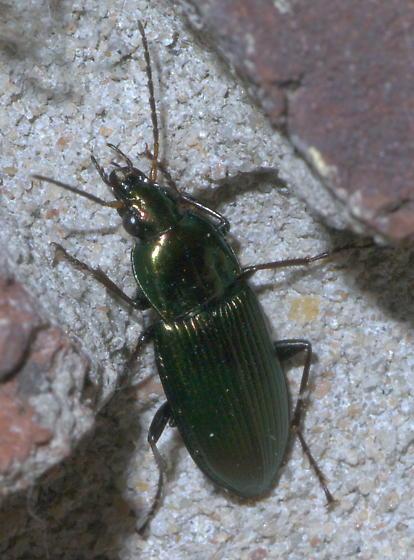 Dark green, metallic ground beetle - Poecilus chalcites