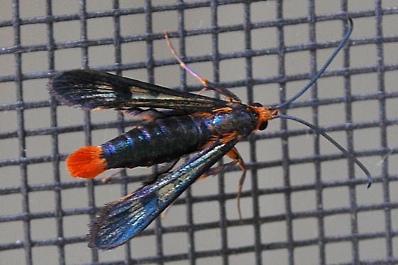 Fly, wasp, or moth? - Synanthedon acerni