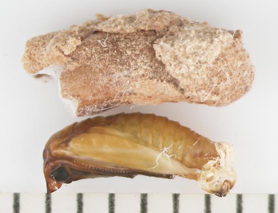 Prodoxidae, Bogus Yucca Moth, cocoon & pupa - Prodoxus