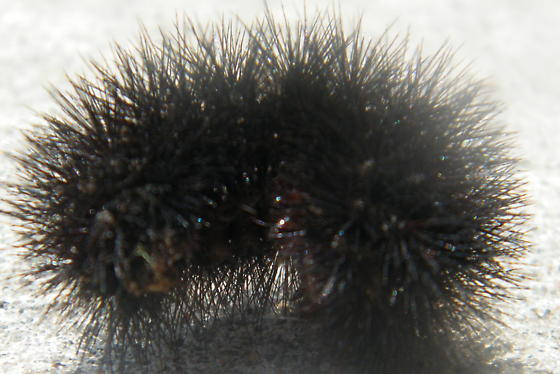 Black Hairy Caterpillar- What Kind Is It And Is It -6258