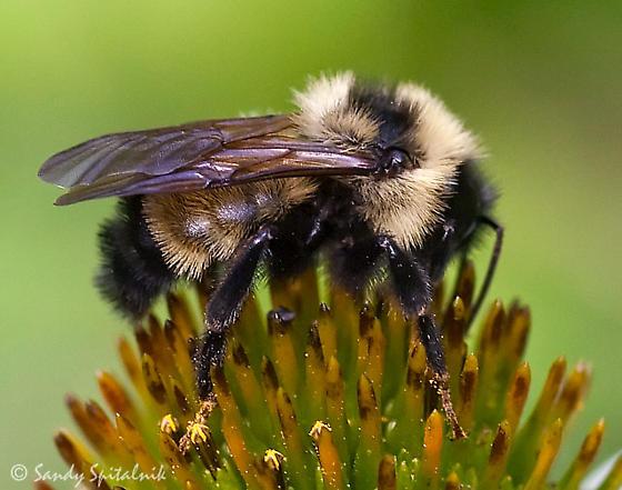 Bumble Bee - Bombus citrinus - male