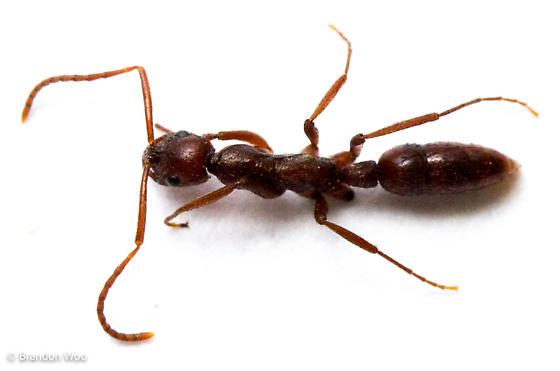 Leptogenys elongata - female