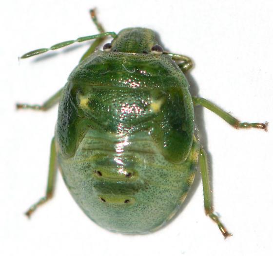 Pentatomidae nymph - Banasa euchlora