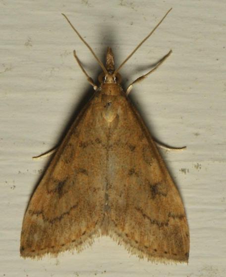 orange moth with rorschach blots - Udea rubigalis