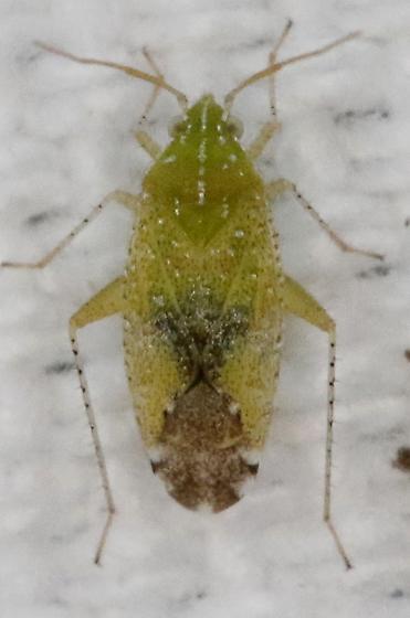 Hopper - Keltonia tuckeri