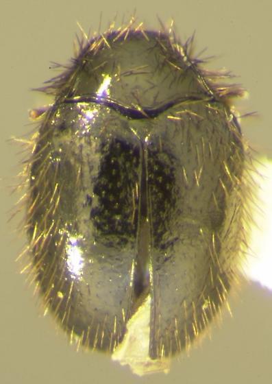 Apsectus araneorum Beal - Apsectus araneorum