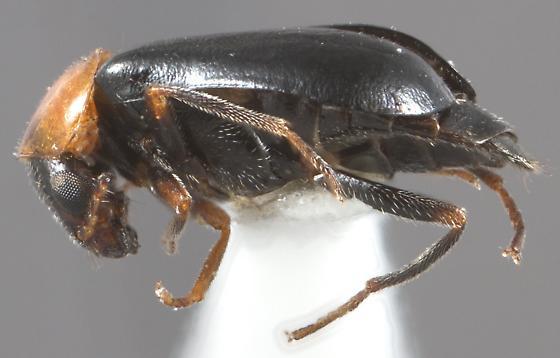 Attalus glabrellus