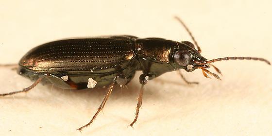 big-eyed carabid - Bembidion americanum