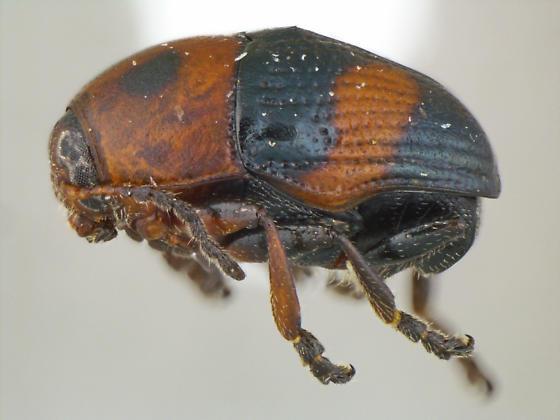 Lexiphanes mexicanus (Jacoby) - Lexiphanes mexicanus - male