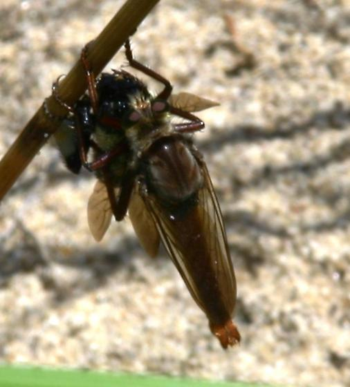 Giant Robber Fly? - Proctacanthus rufus