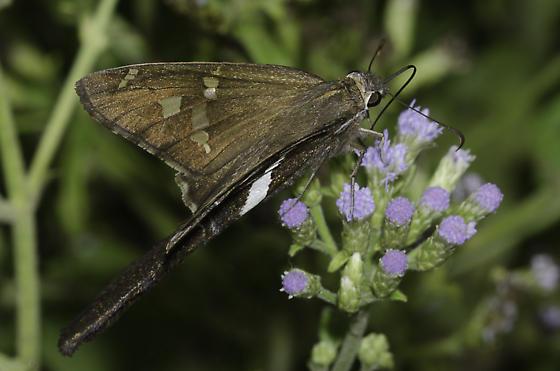 White-striped Longtail - Chioides albofasciatus - female