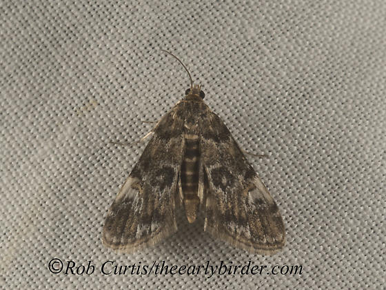 9052209 pyr - Elophila obliteralis - male