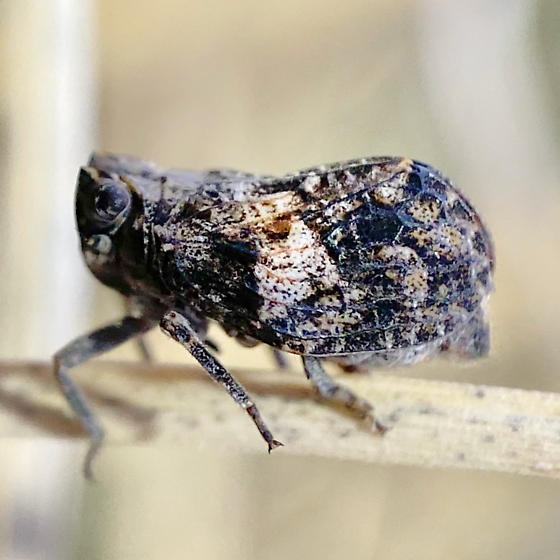 planthopper - Balduza