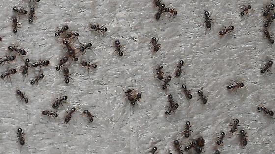 1303612 ant - Tetramorium immigrans - female