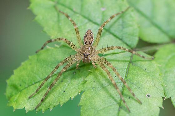 spider0731151 - Dolomedes