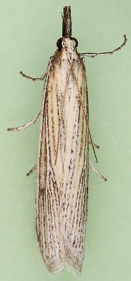 Pyraloidea - Peoria