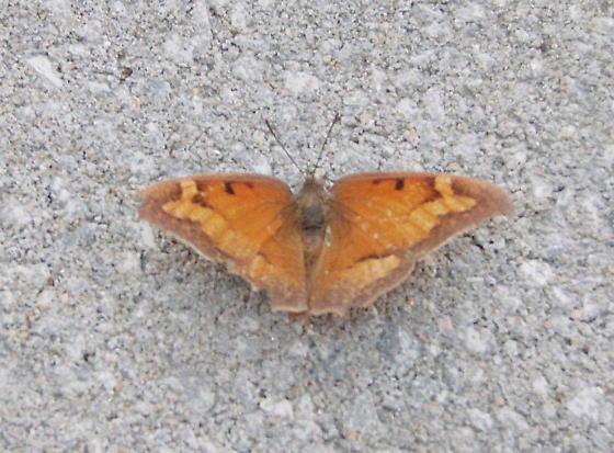 Unk butterfly - Anaea - female