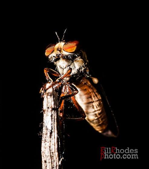 Big-eyed little fly - Holcocephala abdominalis