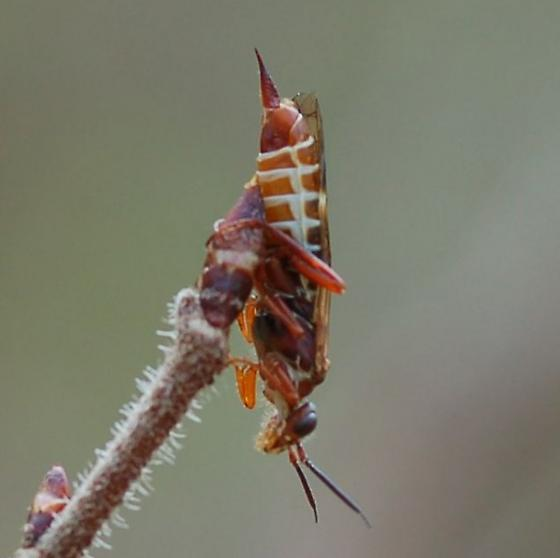 unknown - Macroxyela ferruginea - female