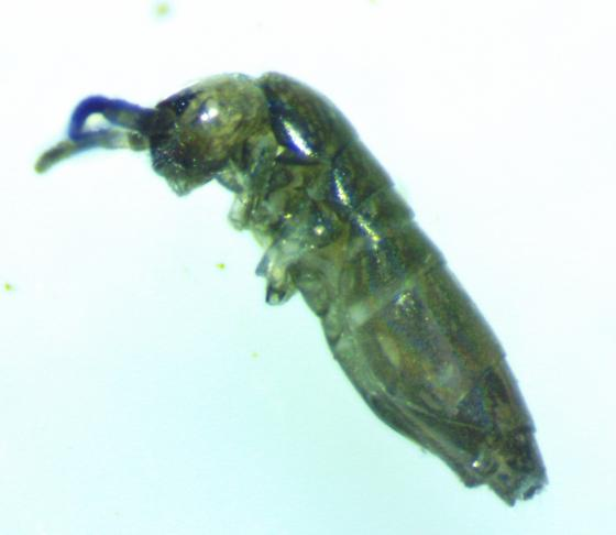 Collembola with white thoracic markings