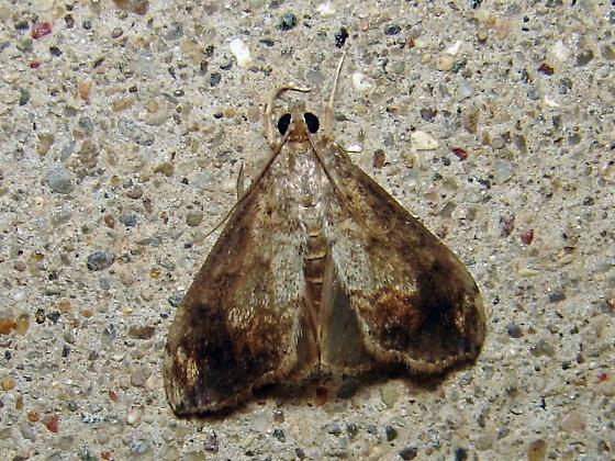 Moth - Evergestis rimosalis