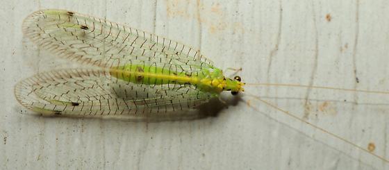 Chrysopa sp.? - Leucochrysa callota