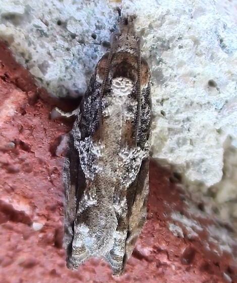Tortricidae: Proteoteras crescentana? - Proteoteras crescentana