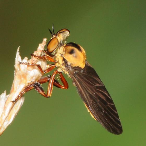 Robber Fly Holocephala - Holcocephala