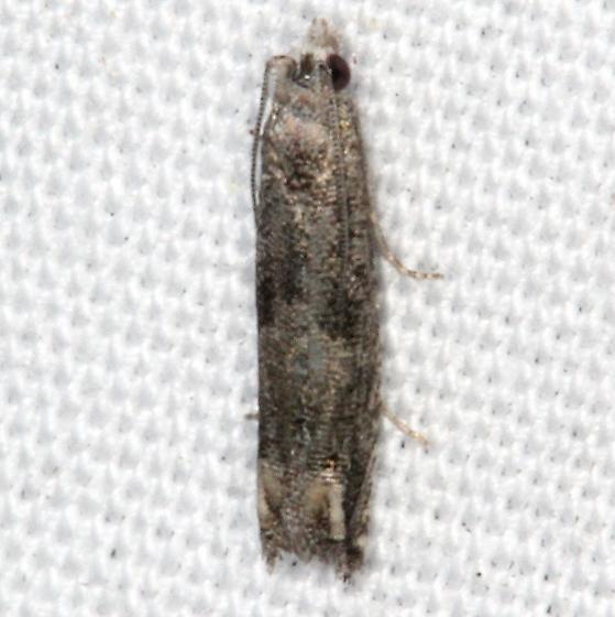 moth - Epiblema strenuana