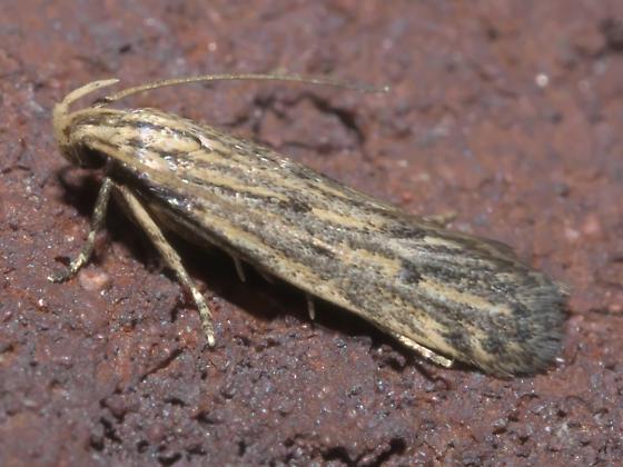 Tan moth with darker marks - Spinitibia hodgesi