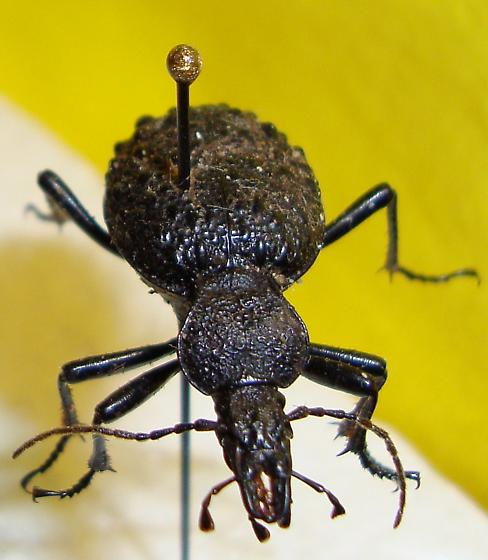 Large black beetle - Cychrus tuberculatus