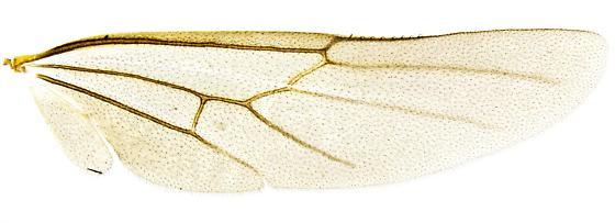 Odontomachus clarus, reproductive? - Odontomachus