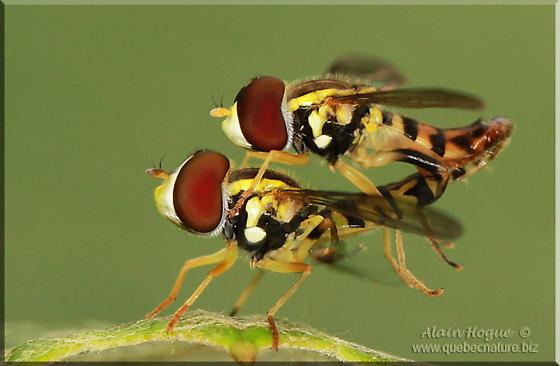 Syrphidae ? - Toxomerus geminatus
