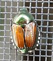 unidentified beetle - Popillia japonica