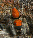Jumping Spider - Phidippus whitmani - male