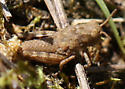 stony grasshopper nymphs - Dissosteira carolina