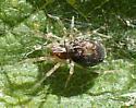 immature ? spider